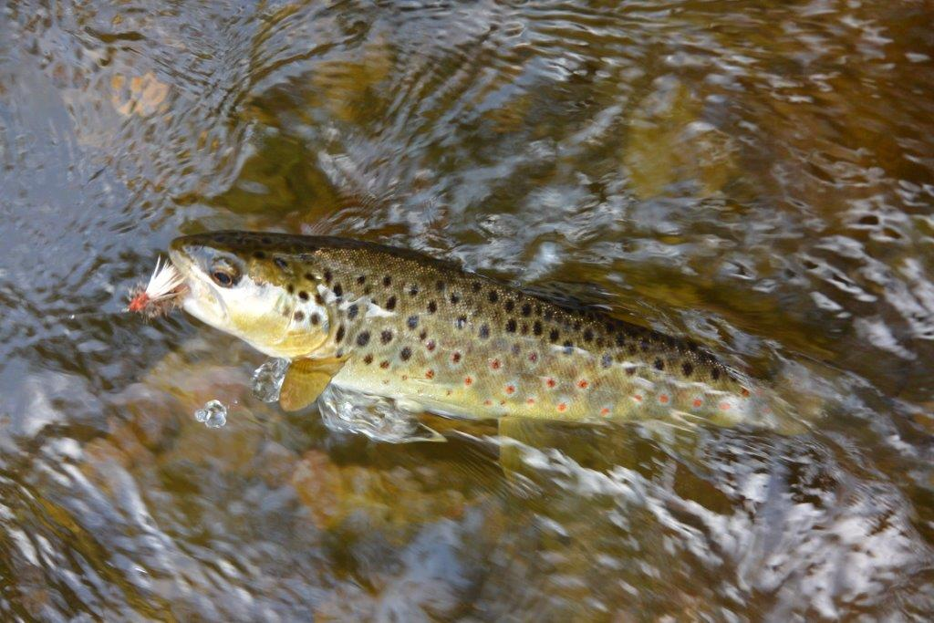 Like most north-east streams, Snowy Creek hasn't been stocked for decades and this little brownie is clearly wild. But where there is some overlap between stocked and wild fish, we need to know the mix in order to best manage the fishery. Guesswork won't cut it.